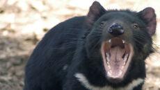 Diabły tasmańskie giną, bo zbyt agresywnie kopulują