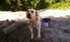 Labrador przybłąkał się na budowę. Drogowcy okazali serce