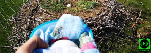 Jaja wypadły z bocianiego gniazda. Pomogli strażacy ochotnicy