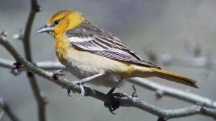 Zmiany klimatu grożą wyginięciem kilkuset gatunkom ptaków w Ameryce Północnej